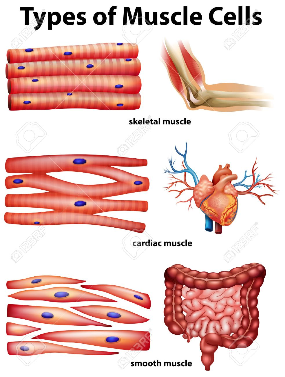 diagram showing types of muscle cells illustration royalty free, Muscles