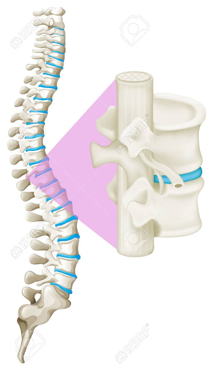 Close Up Spine Bone Illustration Royalty Free Cliparts Vectors And