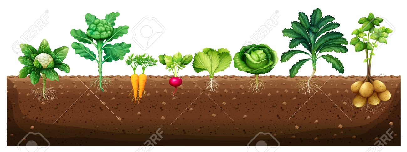 Vegetables growing from underground illustration - 60452937