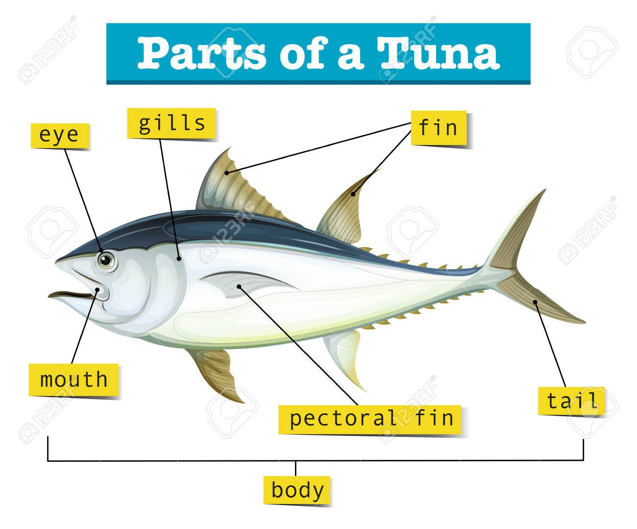 Diagram Showing Different Parts Of Tuna Illustration Royalty Free ...
