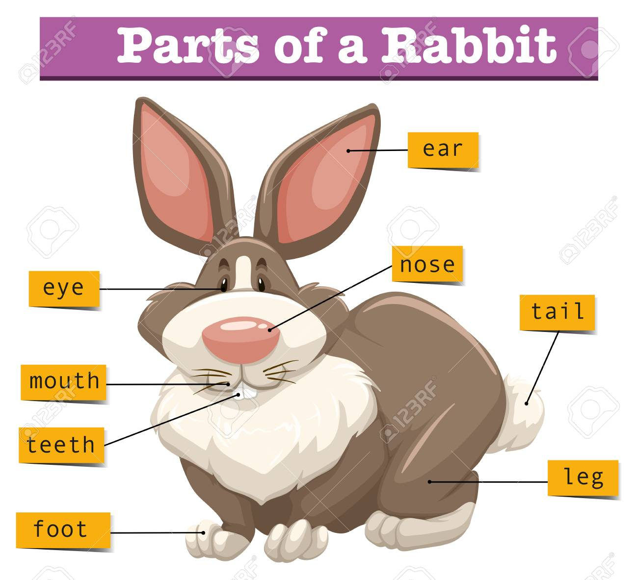 Anatomy Of Cute Rabbit Illustration Royalty Free Cliparts, Vectors ...