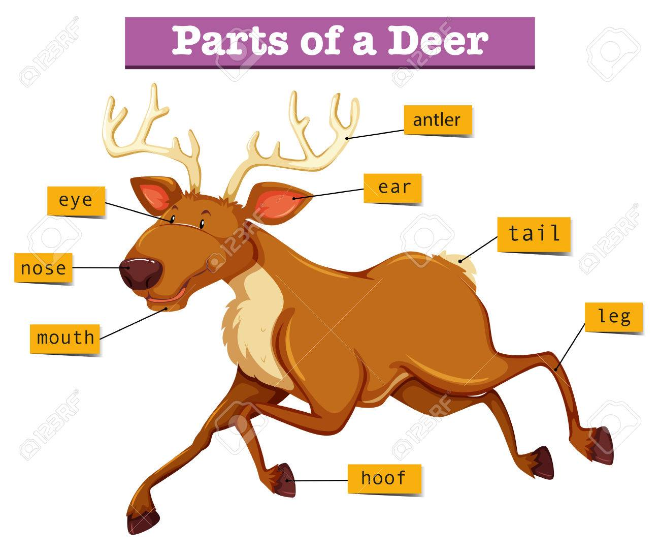 Deer diagram of leg residential electrical symbols diagram showing parts of deer illustration royalty free cliparts rh 123rf com deer processing diagram deer vital organs diagram ccuart Images