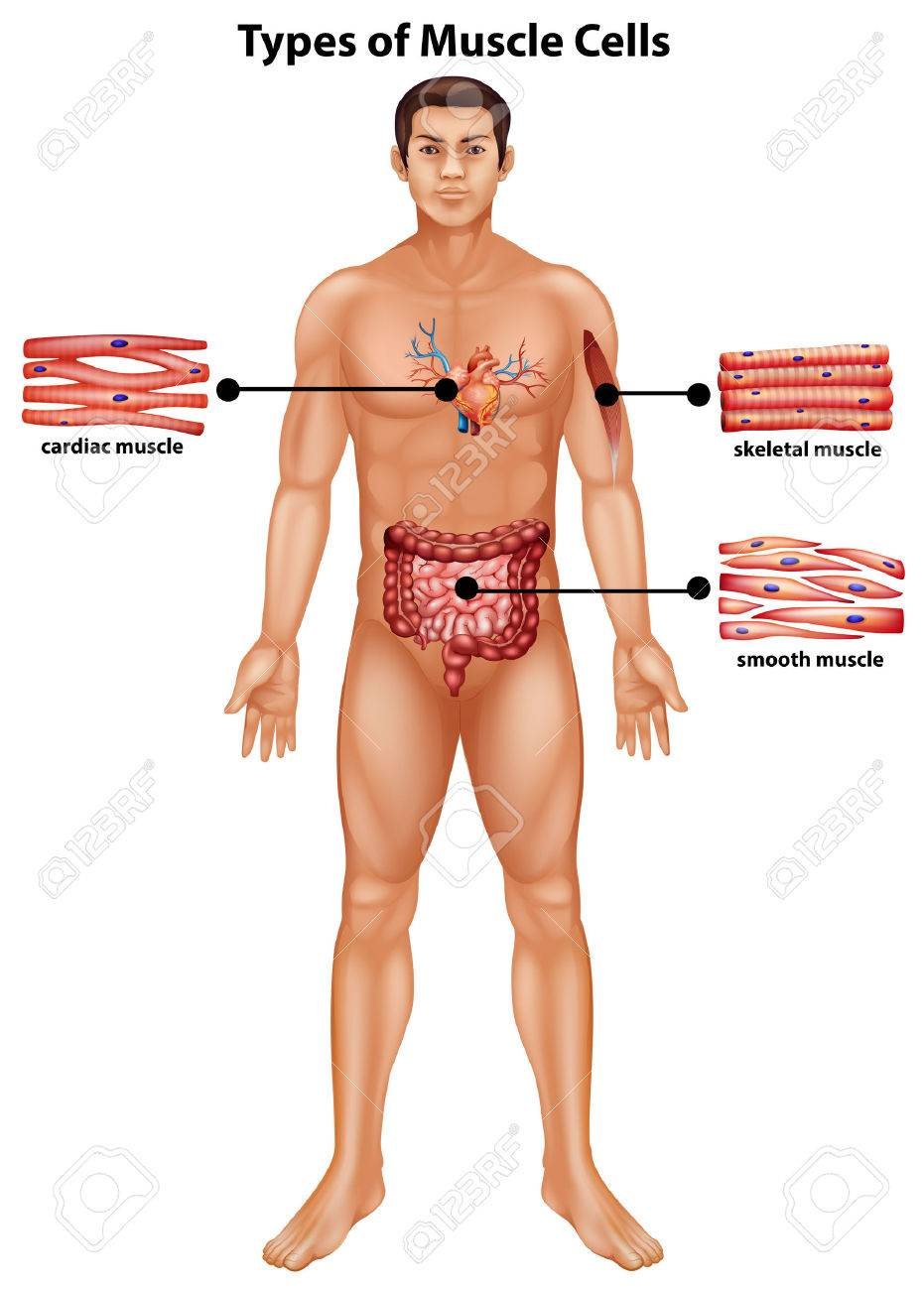 Diagram showing types of muscle cells illustration royalty free diagram showing types of muscle cells illustration stock vector 60662662 ccuart Gallery
