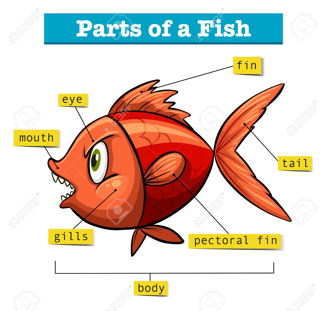 diagram showing parts of fish illustration stock vector - 60629733