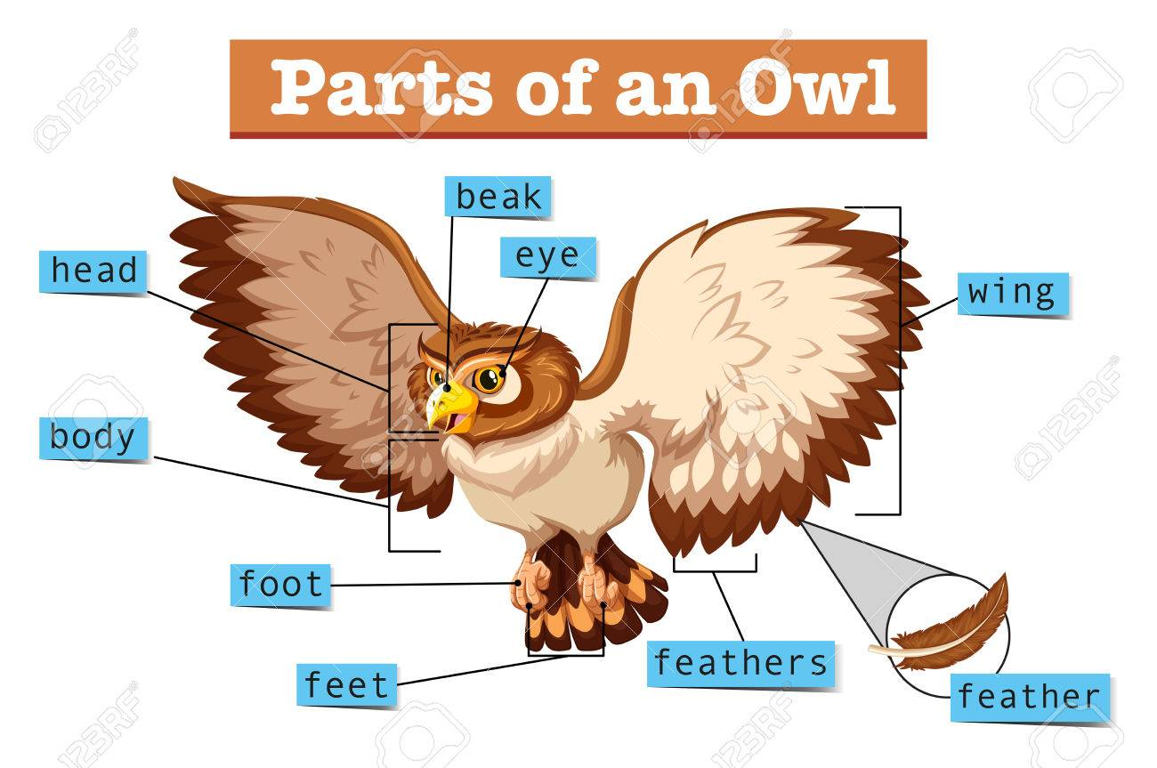 owl body parts diagram wiring diagram online otter digestive system diagram diagram showing parts of owl illustration royalty free cliparts label parts of an owl diagram showing