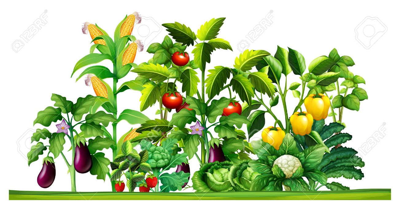 Fresh Vegetable Plants Growing In The Garden Illustration Stock Vector
