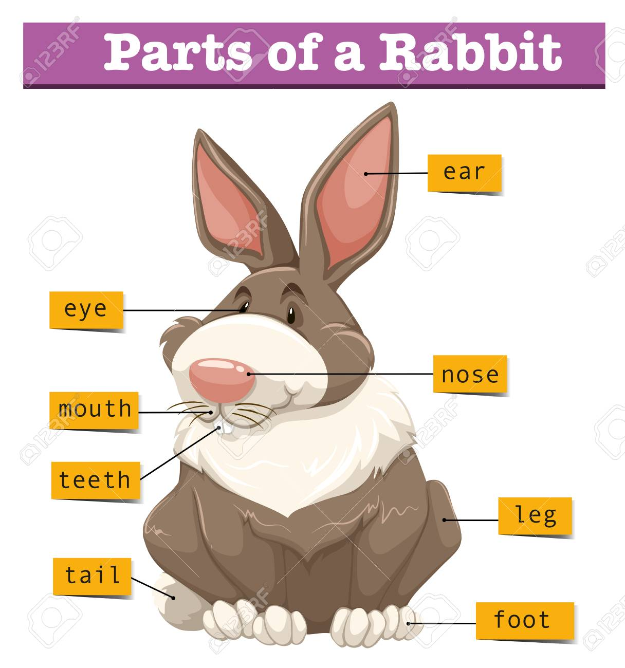 Diagram Showing Parts Of Rabbit Illustration Royalty Free Cliparts,  Vectors, And Stock Illustration. Image 61180557.123RF.com