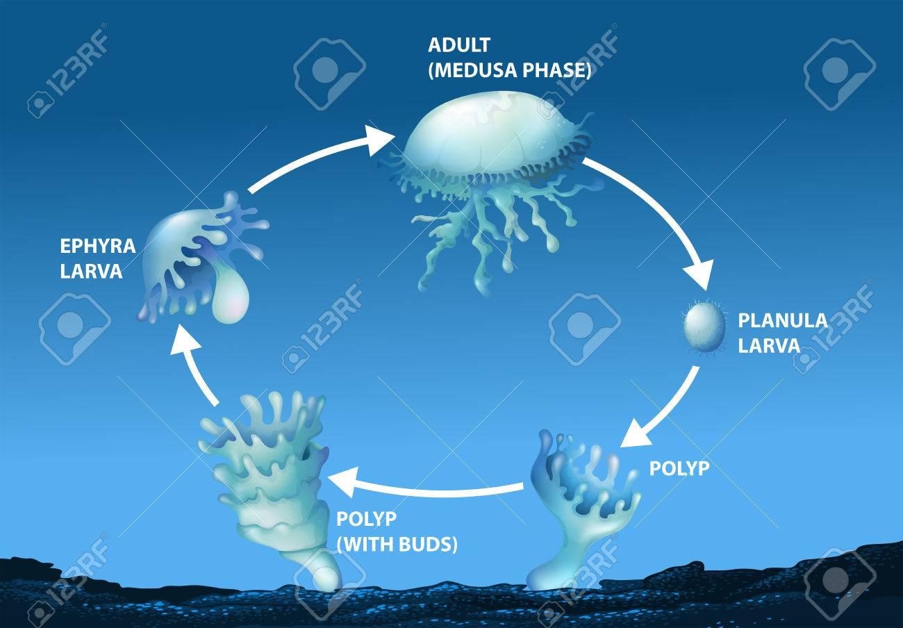 Jellyfish Diagram Diagram