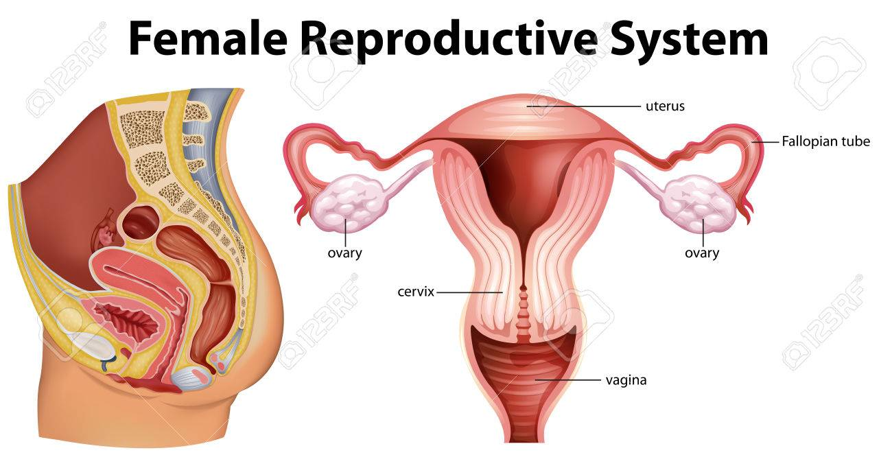 Diagram showing female reproductive system illustration - 70725321