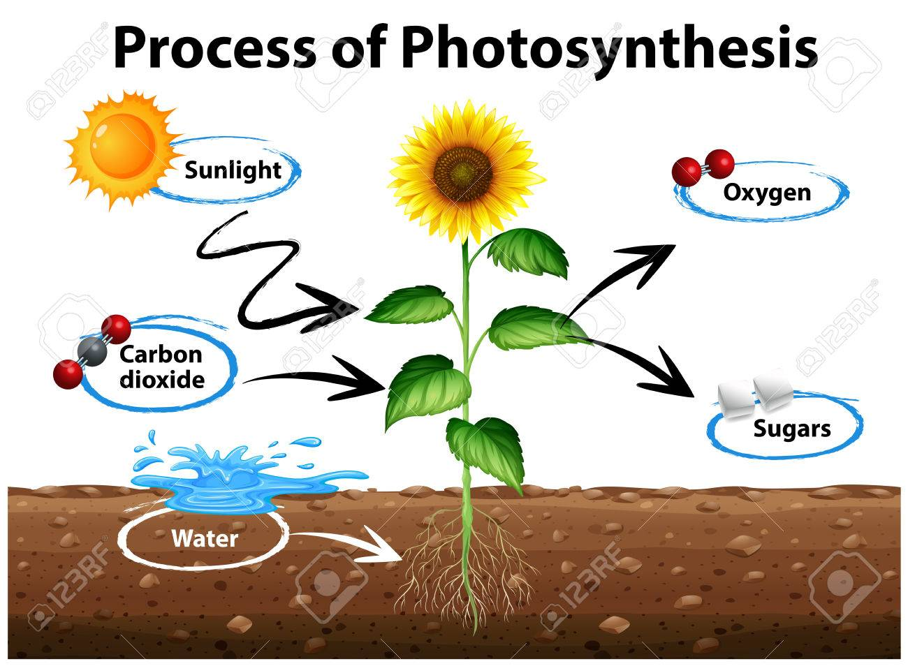 Diagram showing sunflower and process of photosynthesis illustration - 71260378