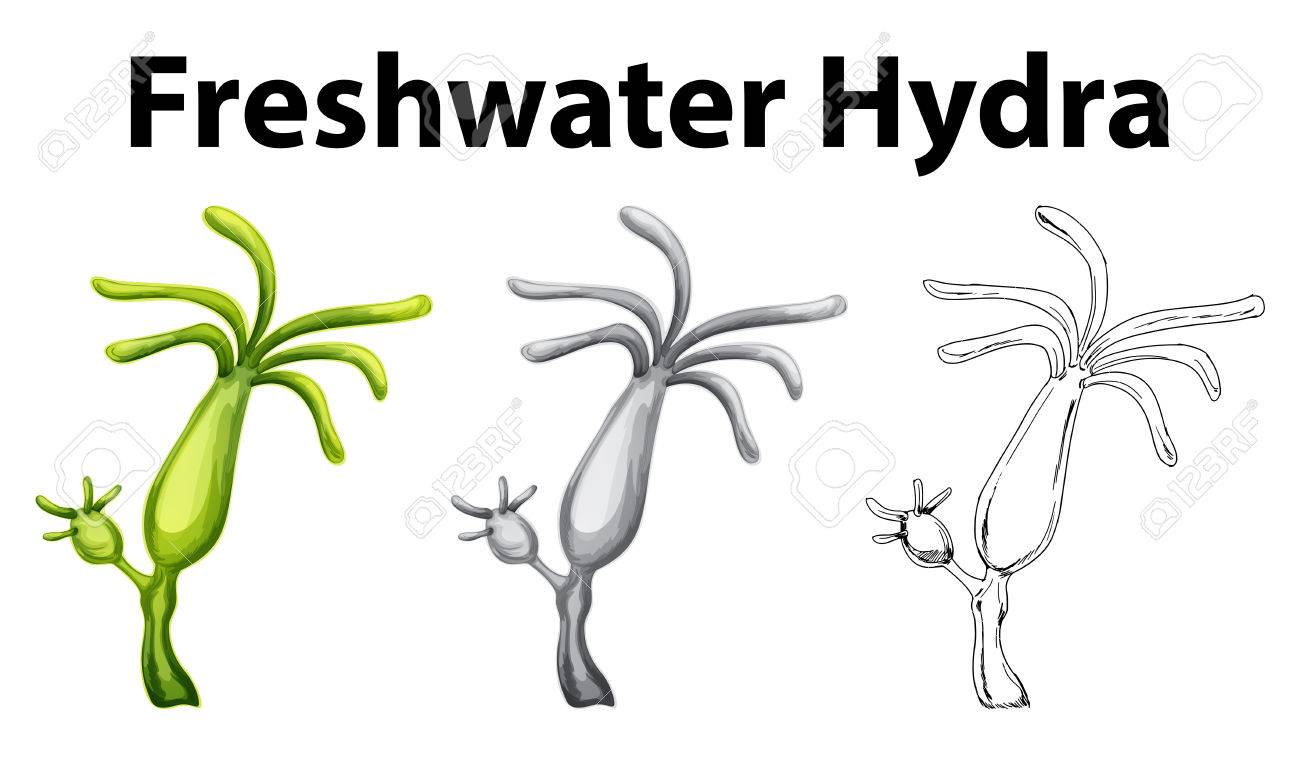 Doodle Drawing For Freshwater Hydra Illustration Royalty Free ...
