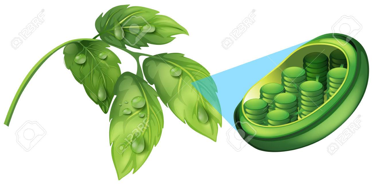 Grüne Blätter Und Zelle Pflanze Diagramm Abbildung Lizenzfrei ...