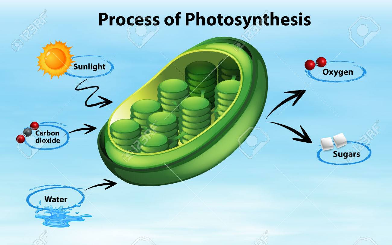 Diagram showing process of photosynthesis illustration royalty diagram showing process of photosynthesis illustration stock vector 81697446 ccuart Choice Image