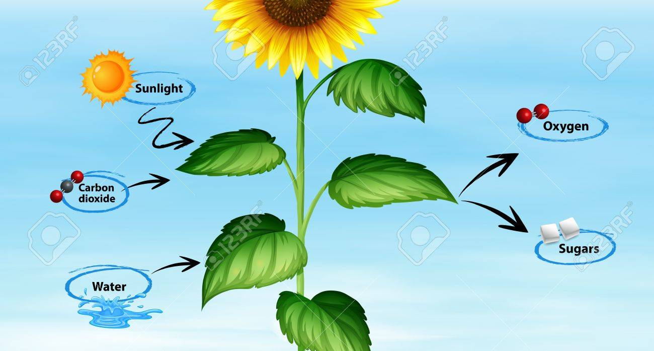 Diagram showing sunflower and photo synthesis illustration royalty diagram showing sunflower and photo synthesis illustration stock vector 84703773 ccuart Images