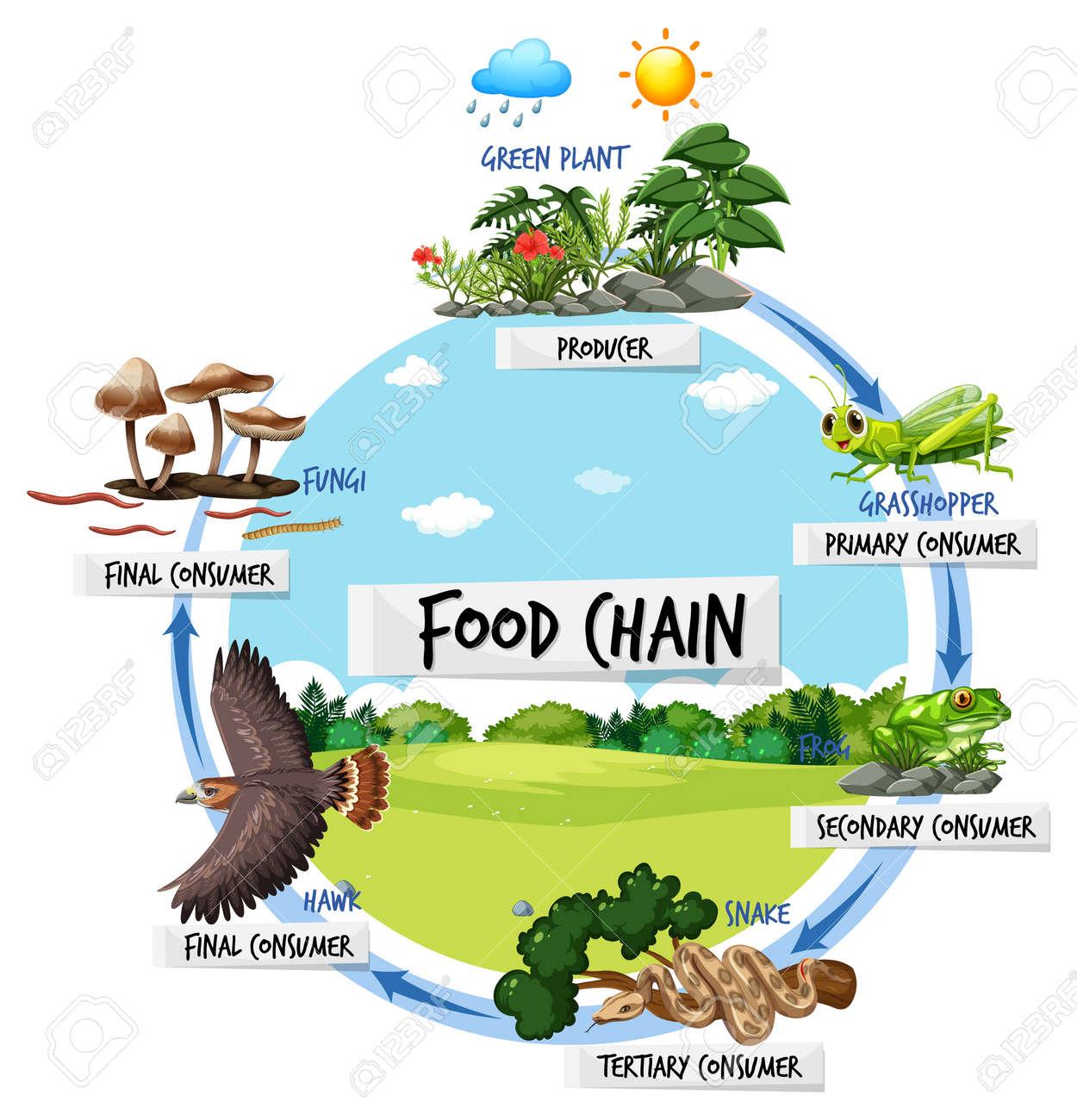 Food chain diagram concept illustration - 166417596