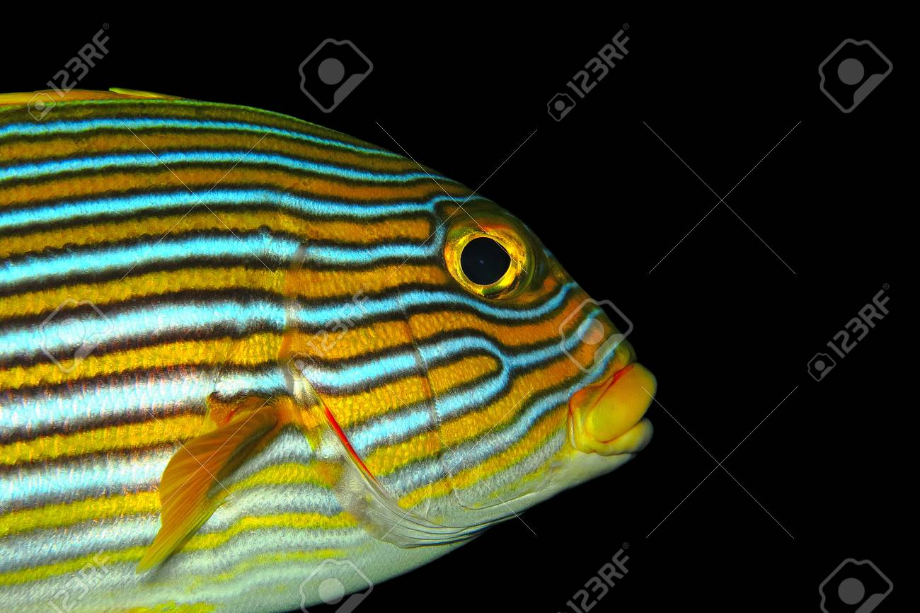 Yellow orange oriental sweetlip fish portrait with black background stock photo yellow orange oriental sweetlip fish portrait with black background detail of animal underwater fish head eye lips and fin freerunsca Gallery
