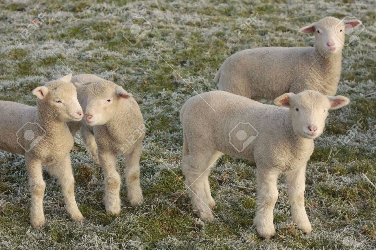 Young lamb playing in field Stock Photo - 4148855