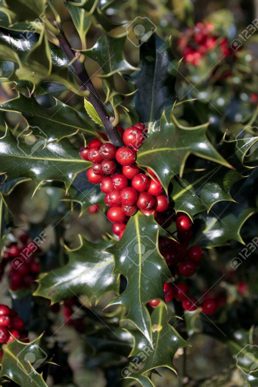 holly plant with ripe red berries stock photo - Holly Plant
