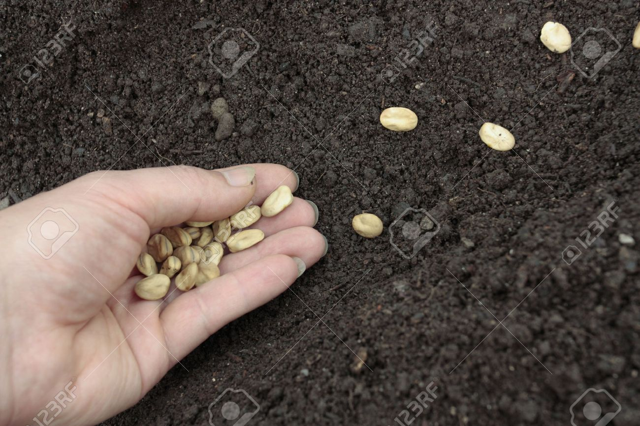 Planting of vegetable seeds in prepared soil rows Stock Photo - 10616637