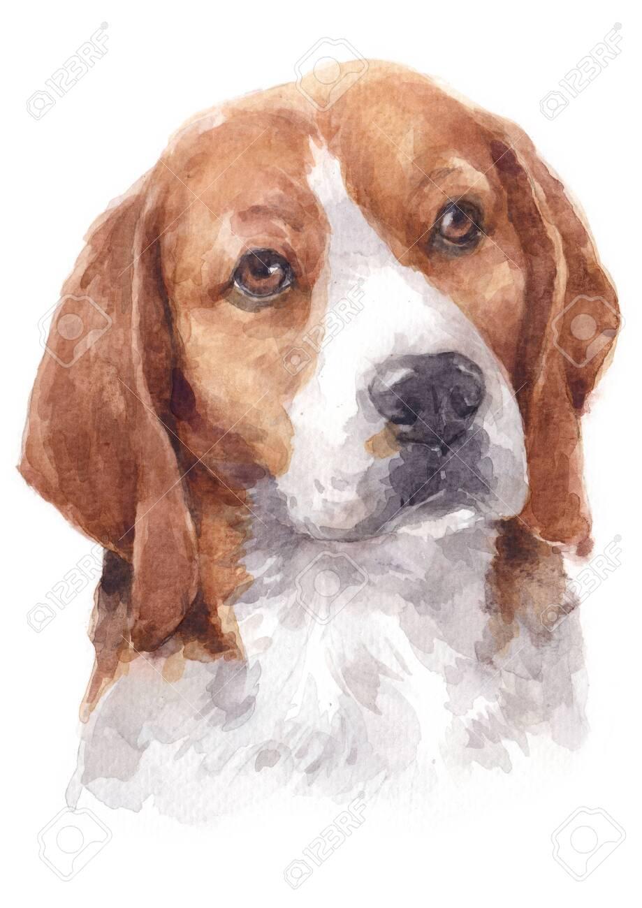 Water Colour Painting Of Beagle Dog Stock Photo Picture And Royalty Free Image Image 134838789