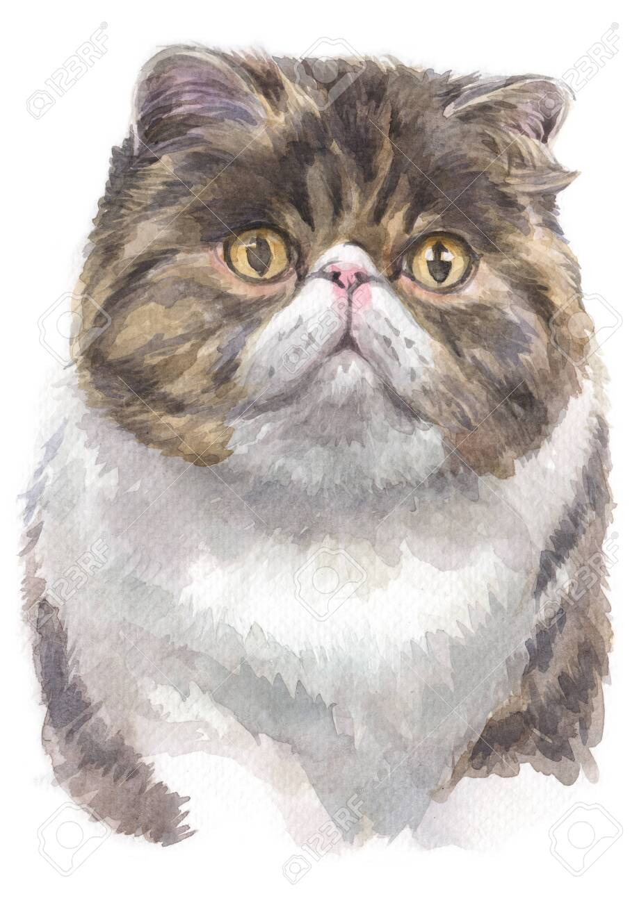 Water colour painting of Exotic shorthair cat - 134942145