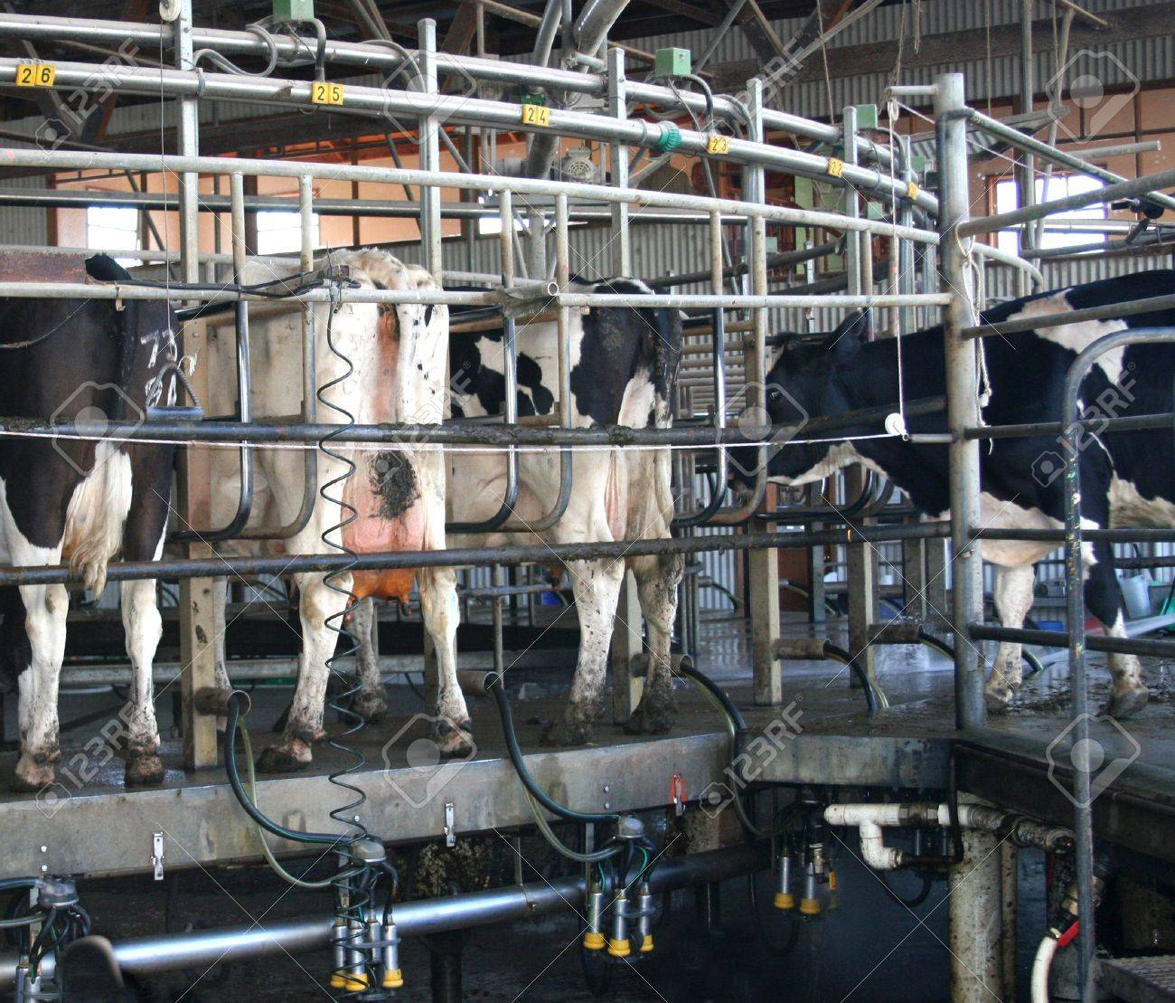 Holstein Cows after milking in a rotary dairy Stock Photo - 4173861