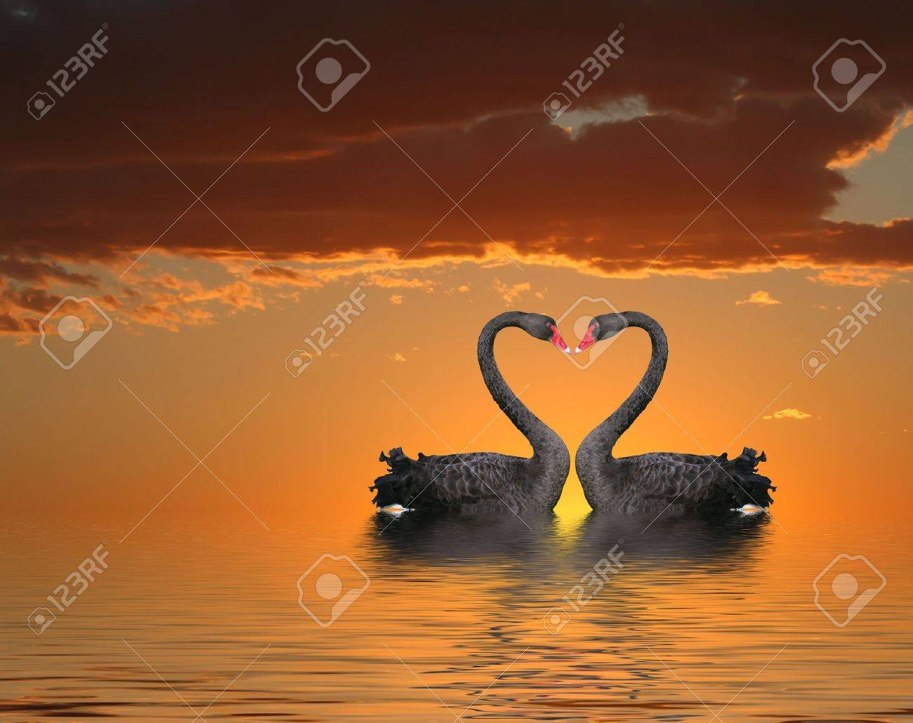 Two romantic swans at sunset with water reflection Stock Photo - 4741506