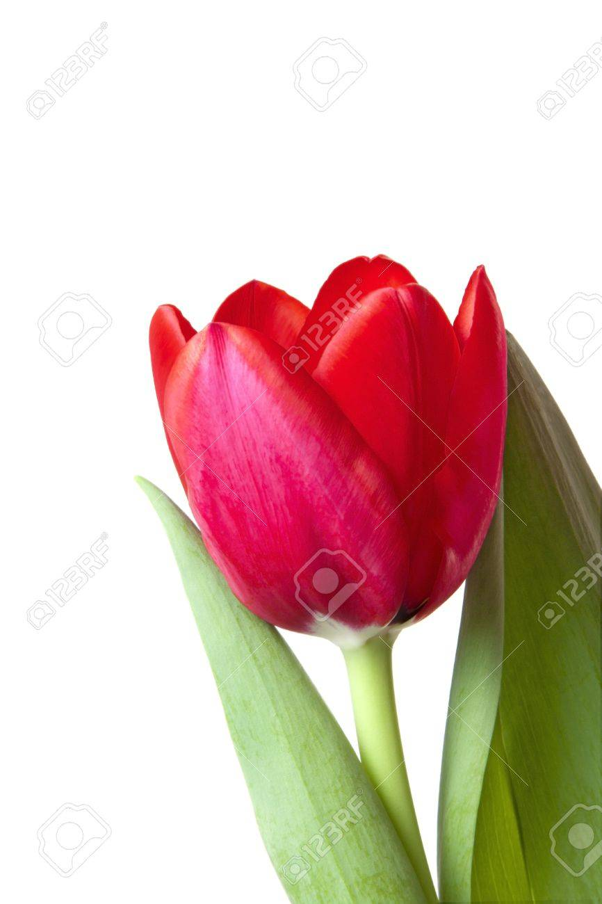 A single red tulip bloom isolated over white background. Stock Photo - 7404486