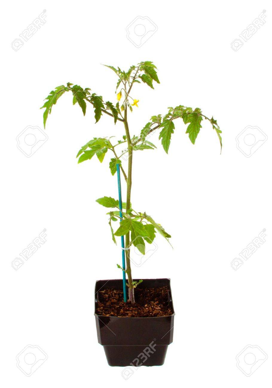 Tomato Seedling with first flowers in black pot ready to plant in the garden. Stock Photo - 7998600