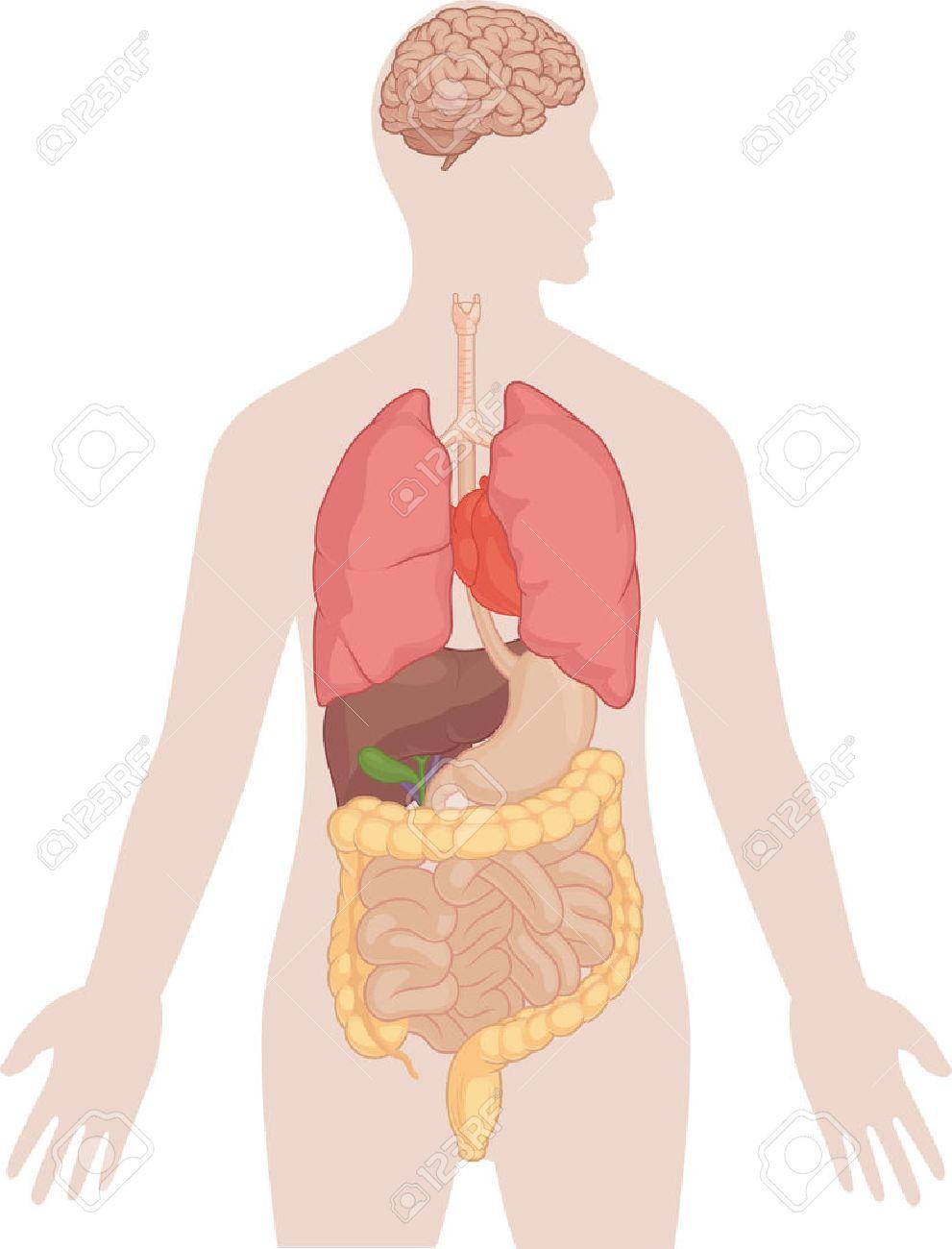 Anatomía Del Cuerpo Humano - Cerebro, Pulmones, Corazón, Hígado ...