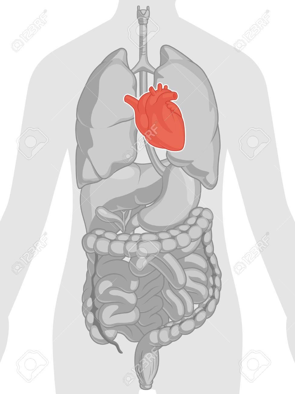 Menschlicher Körper Anatomie - Herz Lizenzfrei Nutzbare ...