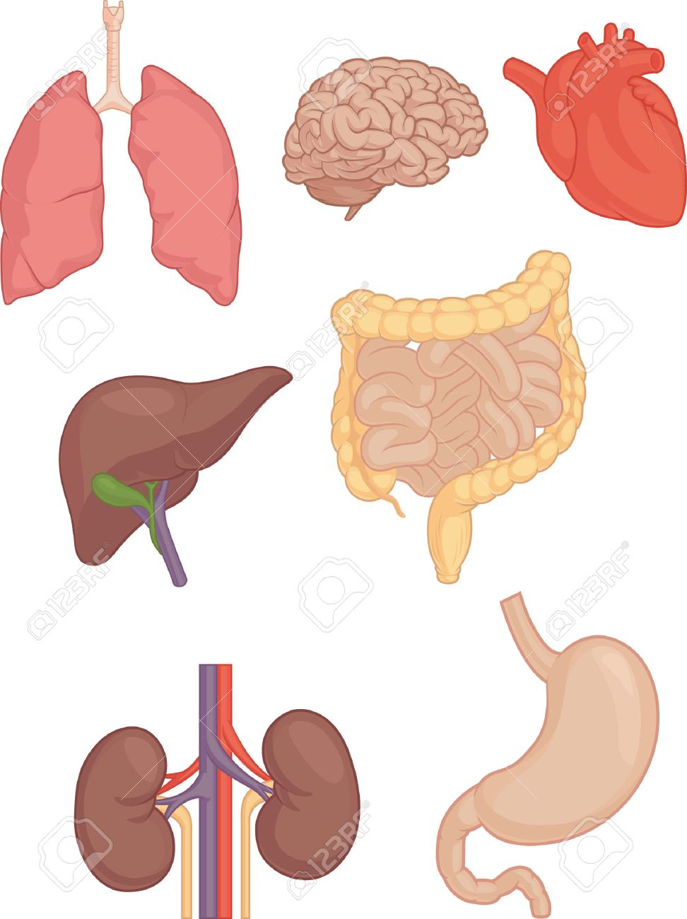 Human Body Parts - Brain, Lung, Heart, Liver, Intestines Royalty ...