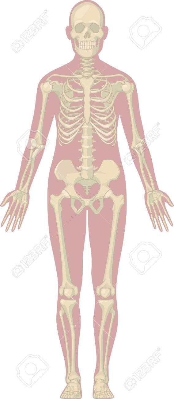 Anatomía Del Cuerpo Humano - Esqueleto Ilustraciones Vectoriales ...