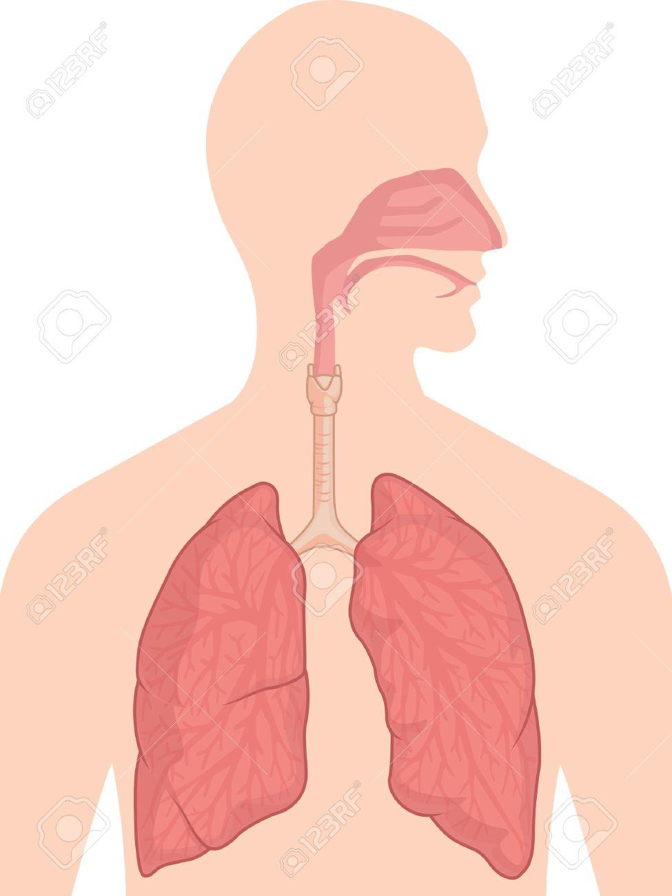 Menschlicher Körper Anatomie - Atmungssystem Lizenzfrei Nutzbare ...