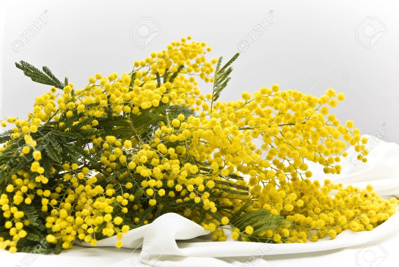 https://previews.123rf.com/images/bluoltremare/bluoltremare1303/bluoltremare130300004/18195457-bouquet-mimosa-acacia-on-white-Stock-Photo.jpg