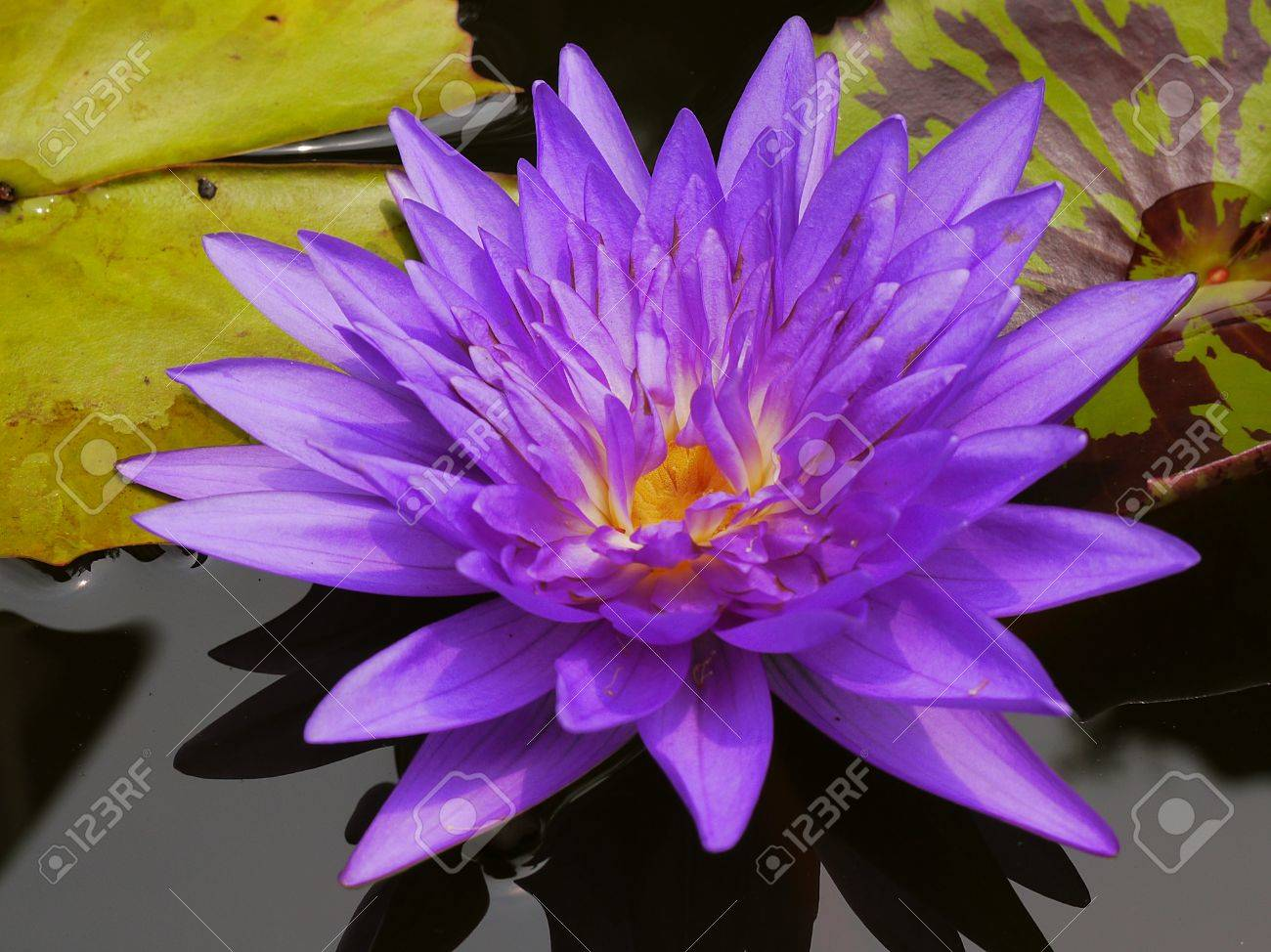 The Blue Lotus So Cute In Thailand Very Beautiful Stock Photo