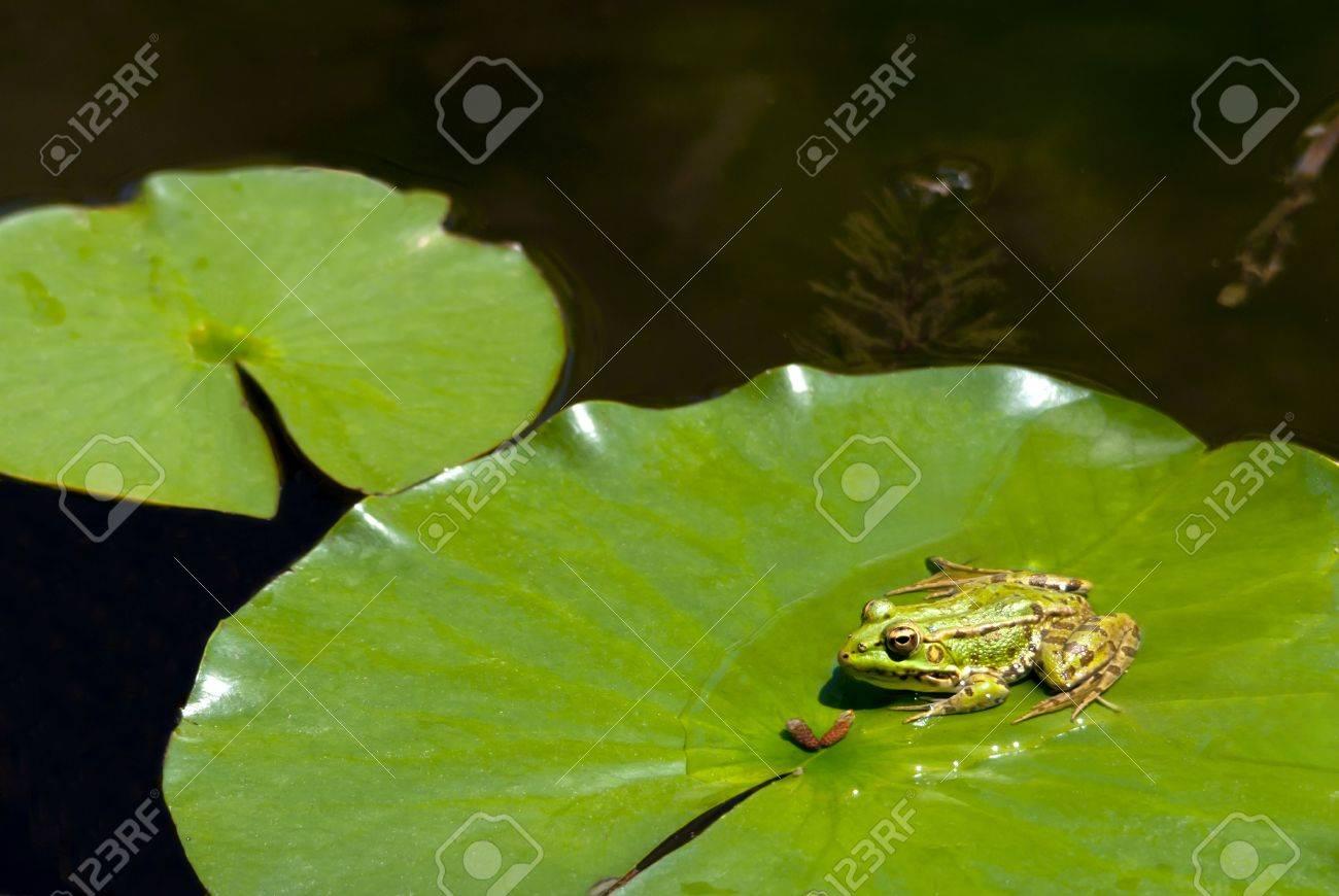 single marsh frog rana ridibunda on a lilypad on a pond alert