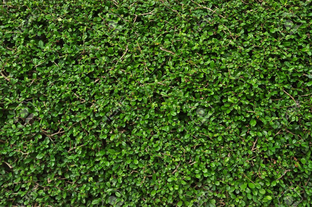 Green Leaves Wall Texture Background Fukien Tea Tree Stock Photo