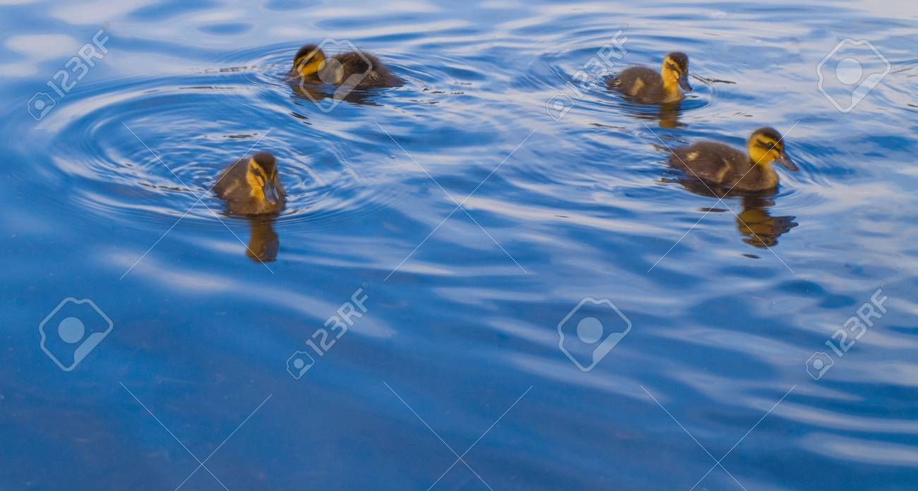 Geese and Ducks Swimming For Food Stock Photo - 3264780
