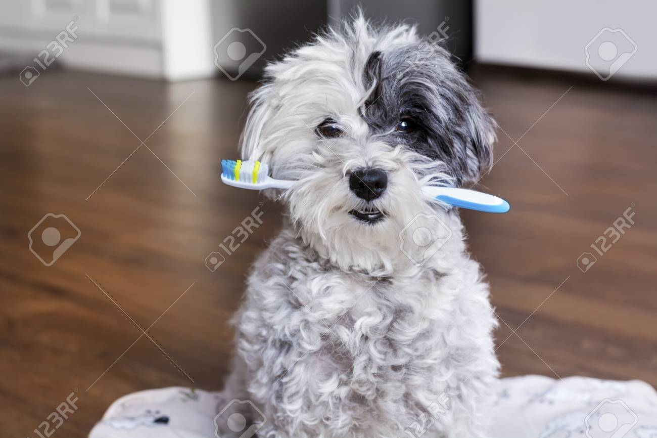 white poodle dog with a toothbrush in the mouth - 92251718