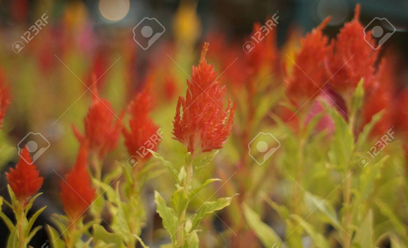Red fern like flowers that look like little red christmas trees red fern like flowers that look like little red christmas trees stock photo 5046720 izmirmasajfo