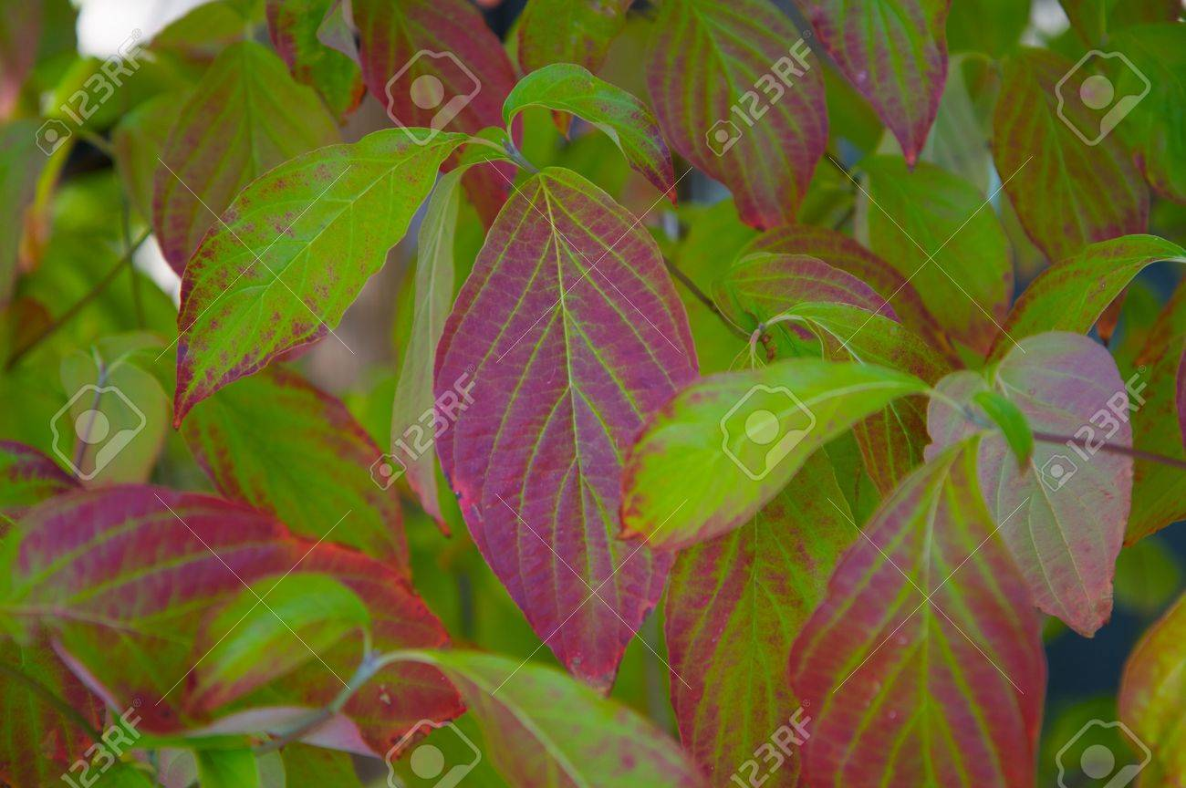 Fall Dogwood Leaves Turning The Autumn Colors From Green To Red ...