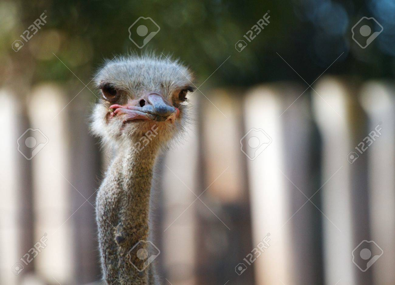 Ostrich head looking to the right with soft focus white fench and trees in backround Stock Photo - 7858607
