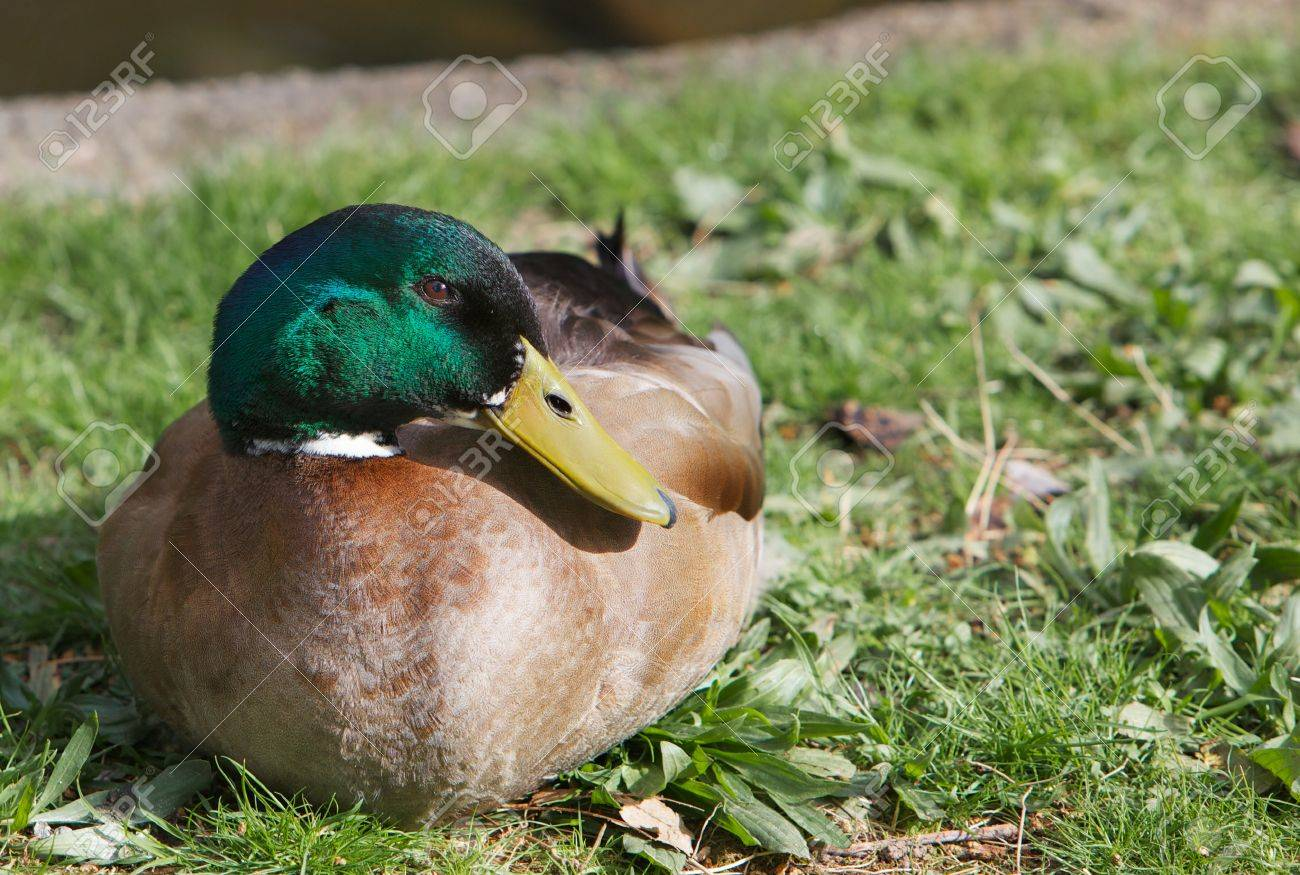 Green headed white collared brown duck sitting on a lawn Stock Photo - 9078747