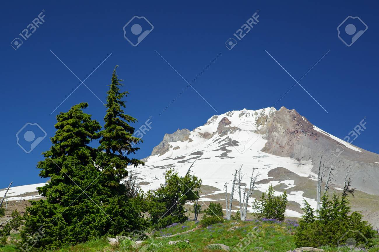 The last set of pine trees before the barren glacier topped Mount Hood Stock Photo - 10641492