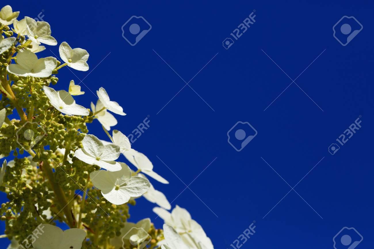 Stalk Of Shallow Dof Four Petal White Alyssum Flowers Against