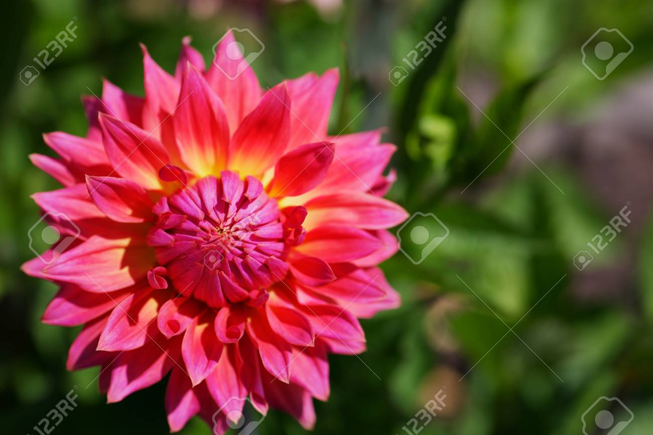 Close Up A Single Pink And Yellow Dahlia Flower With Soft Green Stock Photo Picture And Royalty Free Image Image 14946168