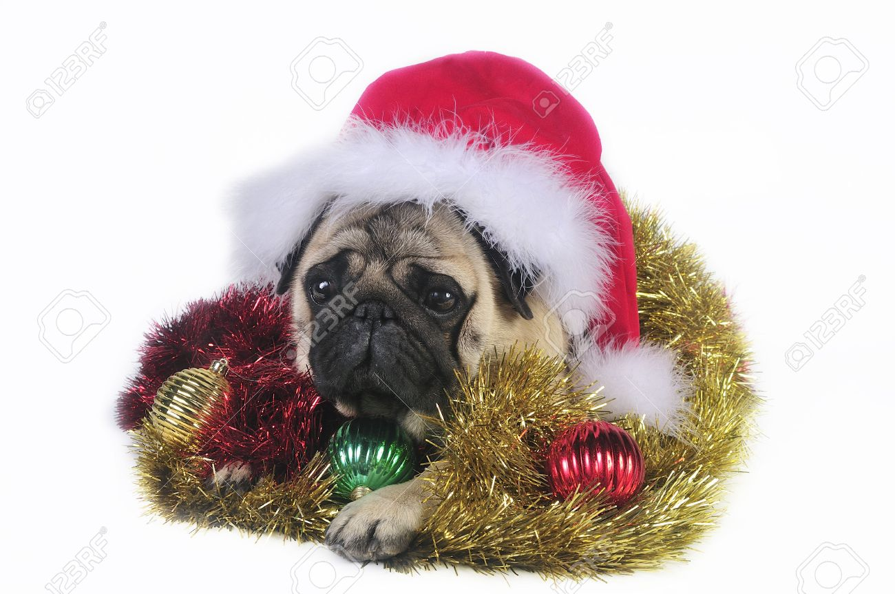 Pug Dog Wearing A Santa Hat,surrounded By Christmas Ornaments ...