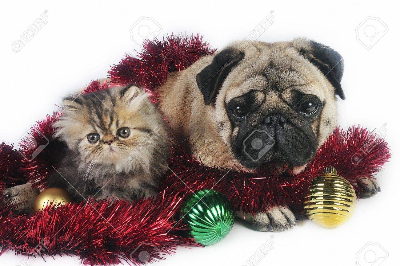 Pug Dog With Little Persian Kitten,surrounded By Christmas ...