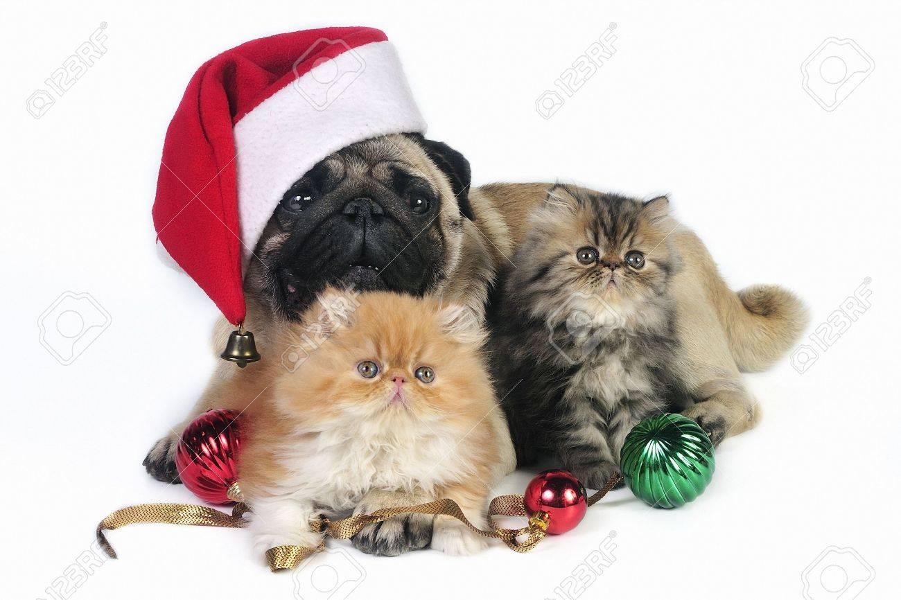 pug dog wearing santa hat with two little persian kittens